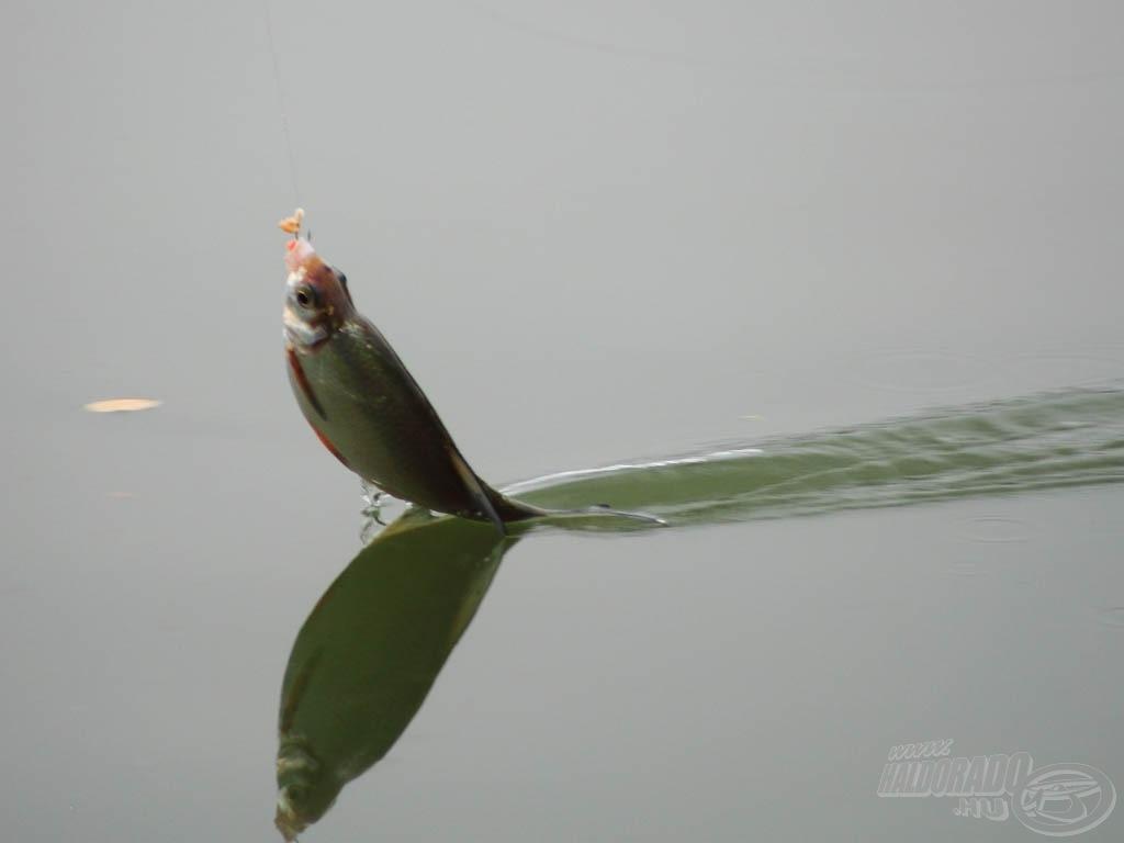 A zsákmány a horgászat napján kisebb-nagyobb keszegekből állt