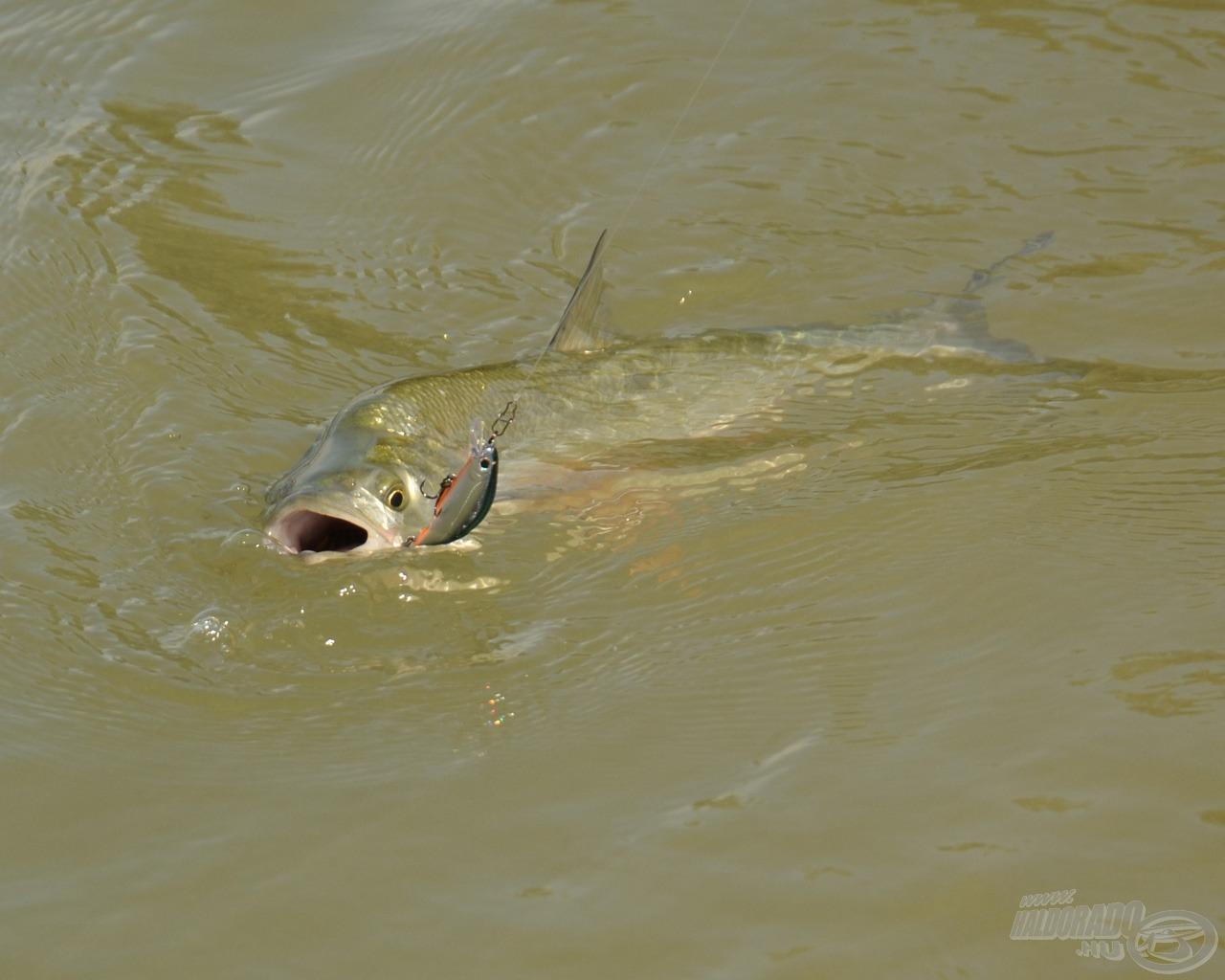 Rendes hal ez a balin, bedobom a Wise Minnow-t és visszahozza