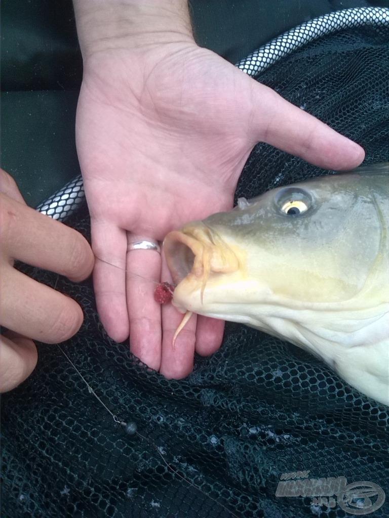 A fűzött Ponty Piros a lehető legjobb helyen - egy hal szájában