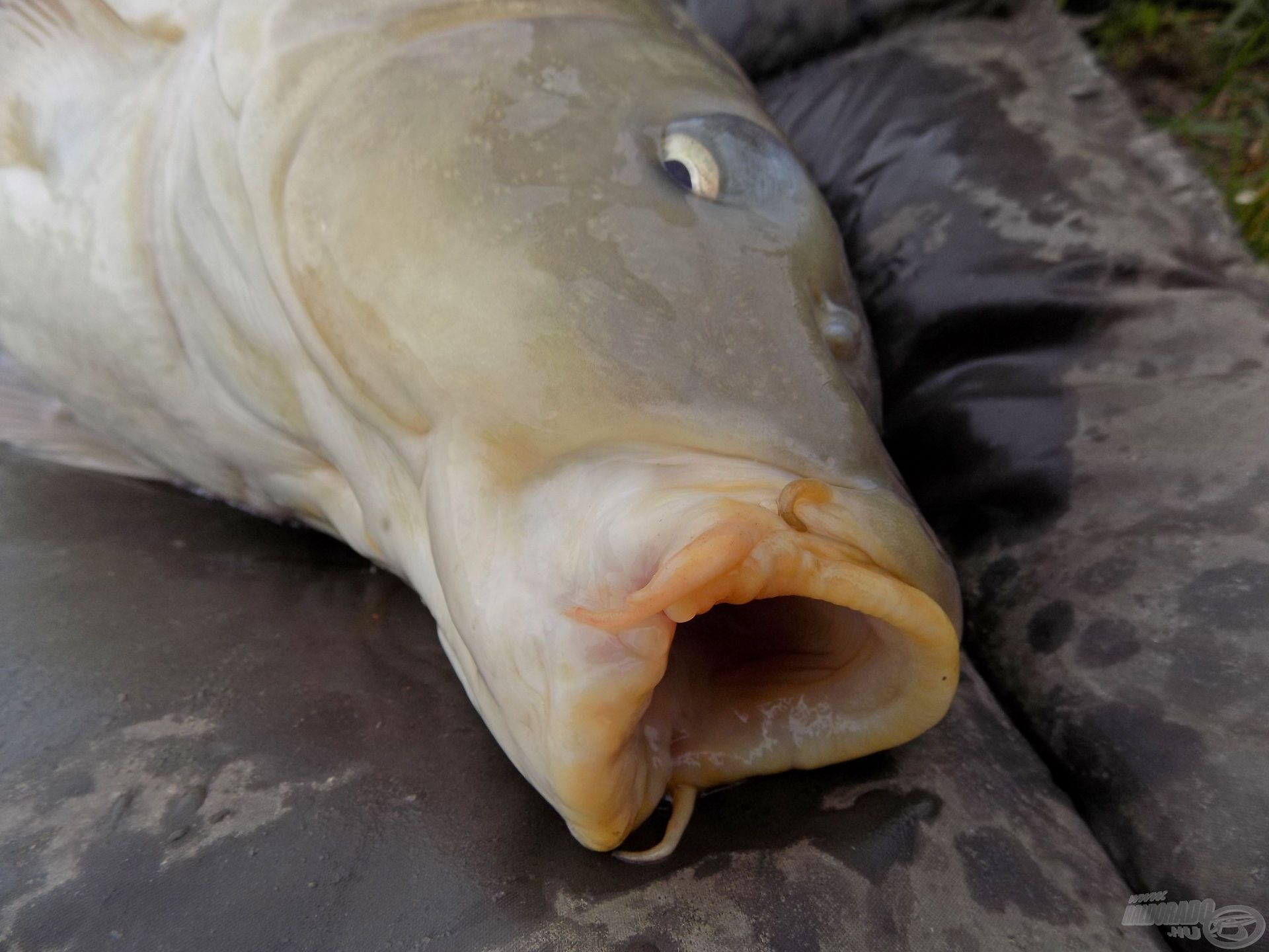 … nagyon intenzíven horgászott vízről van szó, ahol a sokszor megfogott halak már szinte mindennel találkoztak!