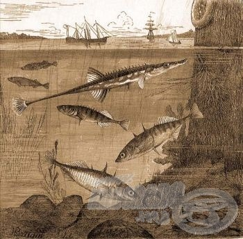 A pikófélék családjába tatozó fajok egy régi ábrázoláson