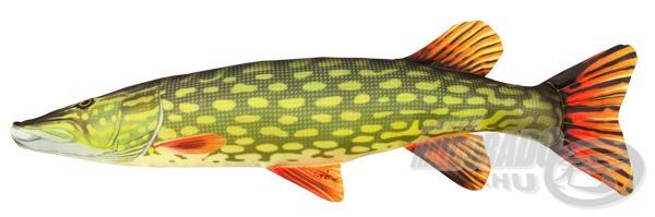 Egy ilyen méretű csukát élőben bármelyik rablóhalas horgász szívesen kifogna, hossza 77 cm