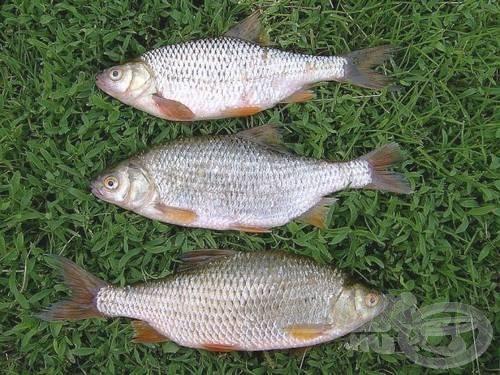 Ezekért a halakért főzőcskézünk