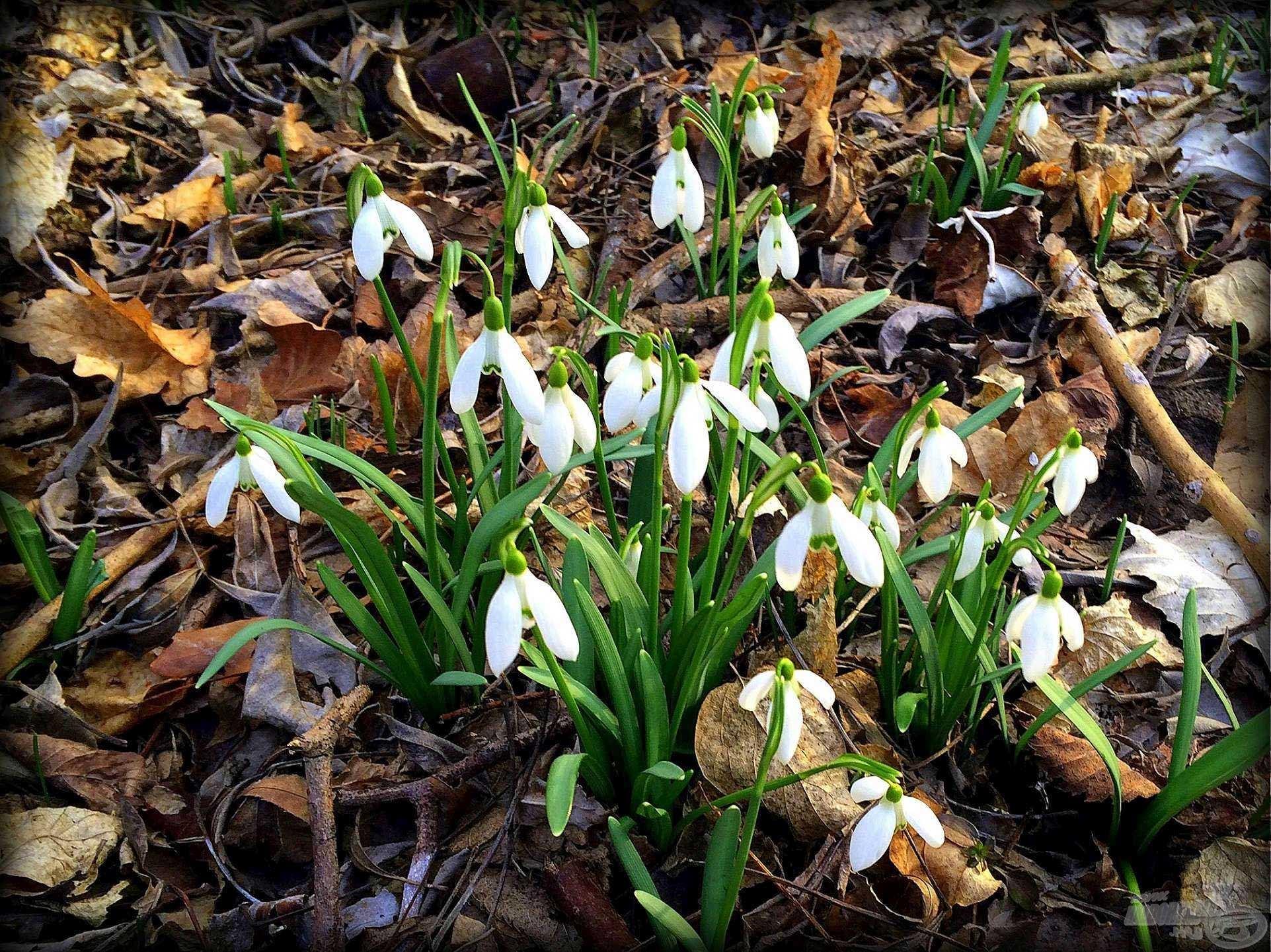 Kora tavaszi csoda – hóvirág
