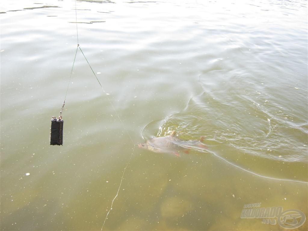 Nagyon tiszta volt a víz azokban a napokban, ezért nem jött partközelben a márna. A jászokat ez nem zavarta, igaz, a nagyokat bentről fogtam