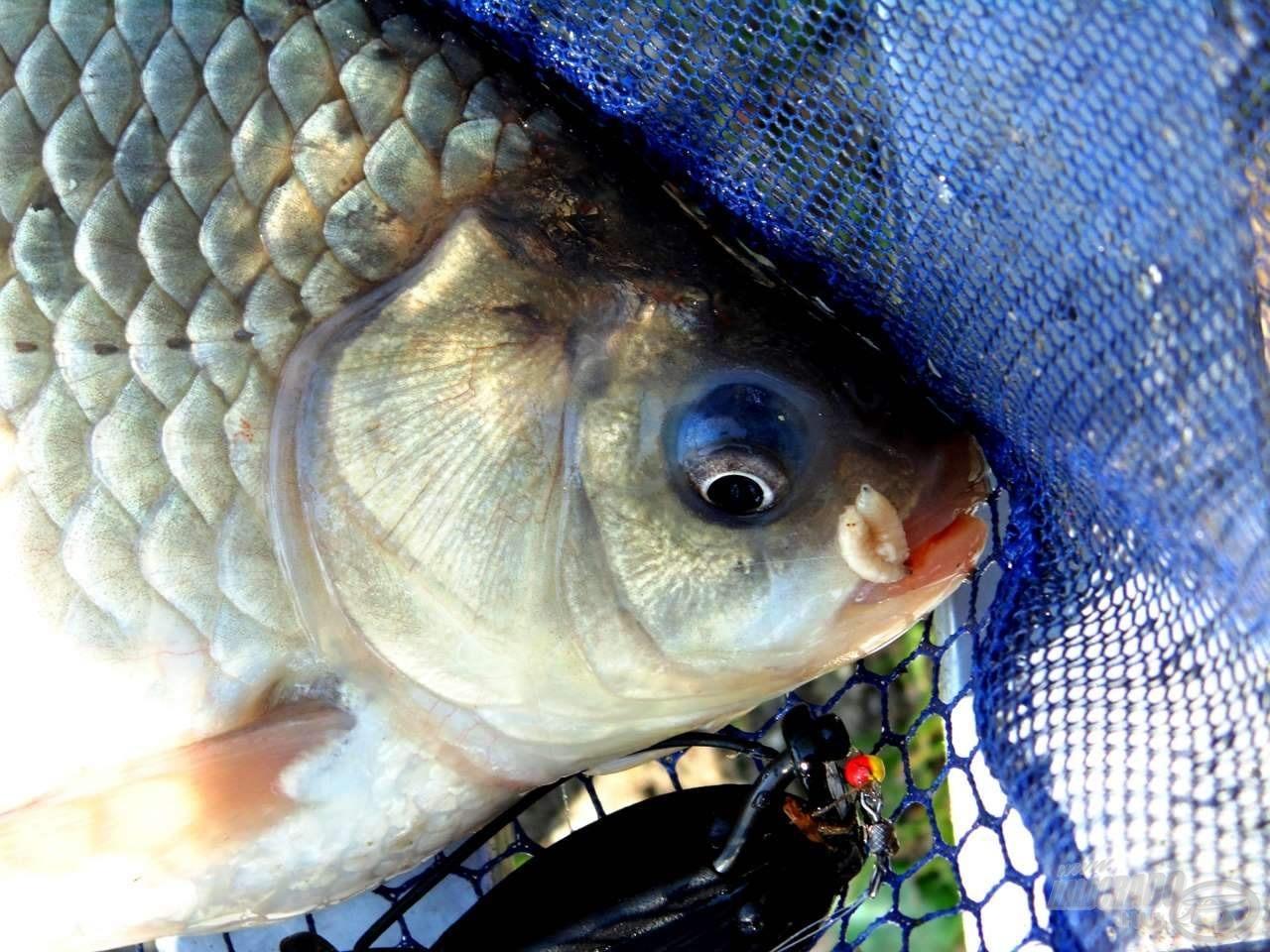Élő csalival még a legfinnyásabb halakat is horogra lehet csalni