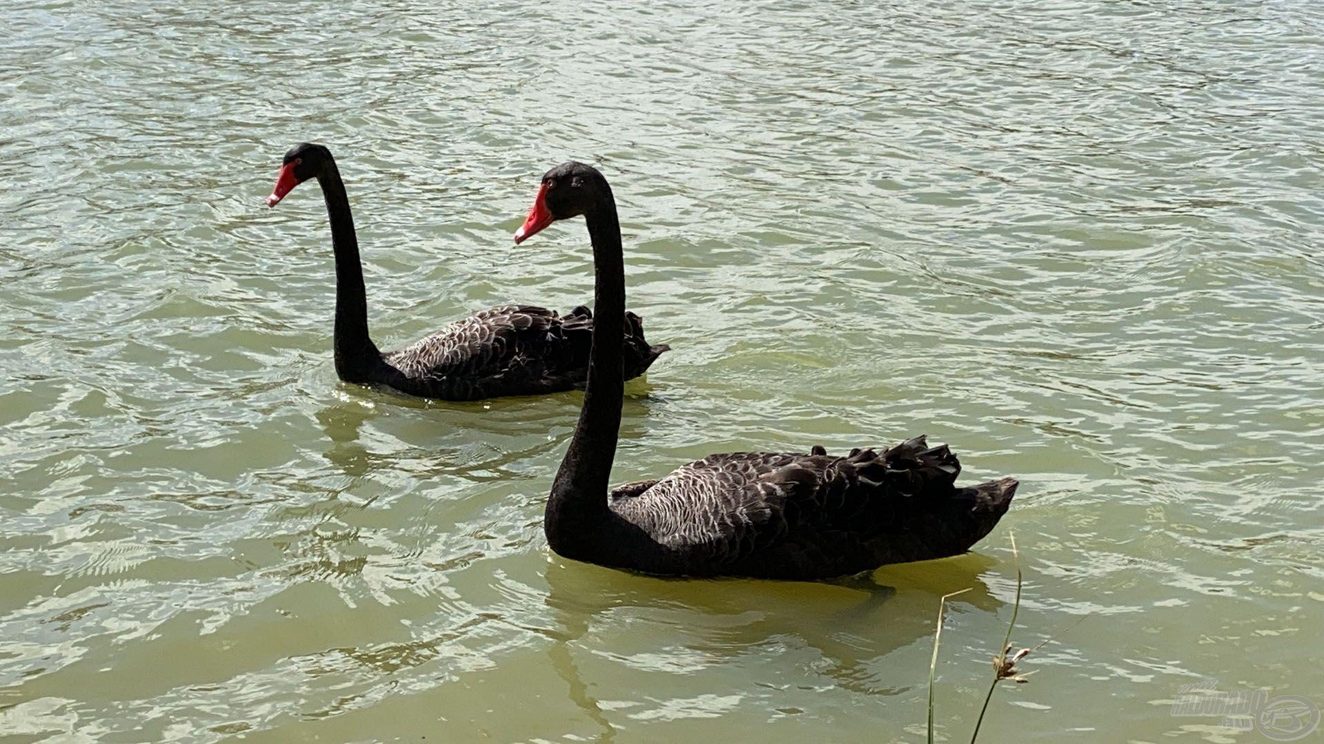 Az állatvilág nagyon különleges. Láttál már fekete hattyút? Itt hétköznapi!