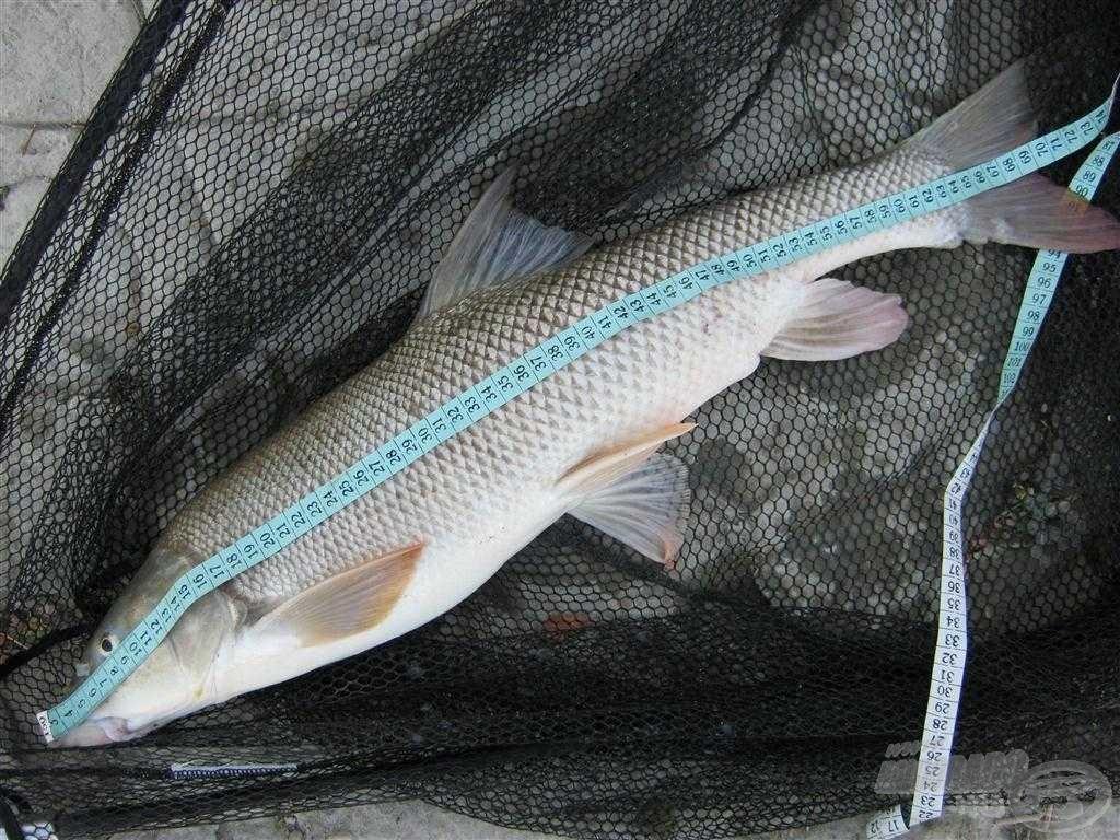 Az ilyen méretű halak nem véletlenül kerülnek a horgomra, ebben biztos vagyok!