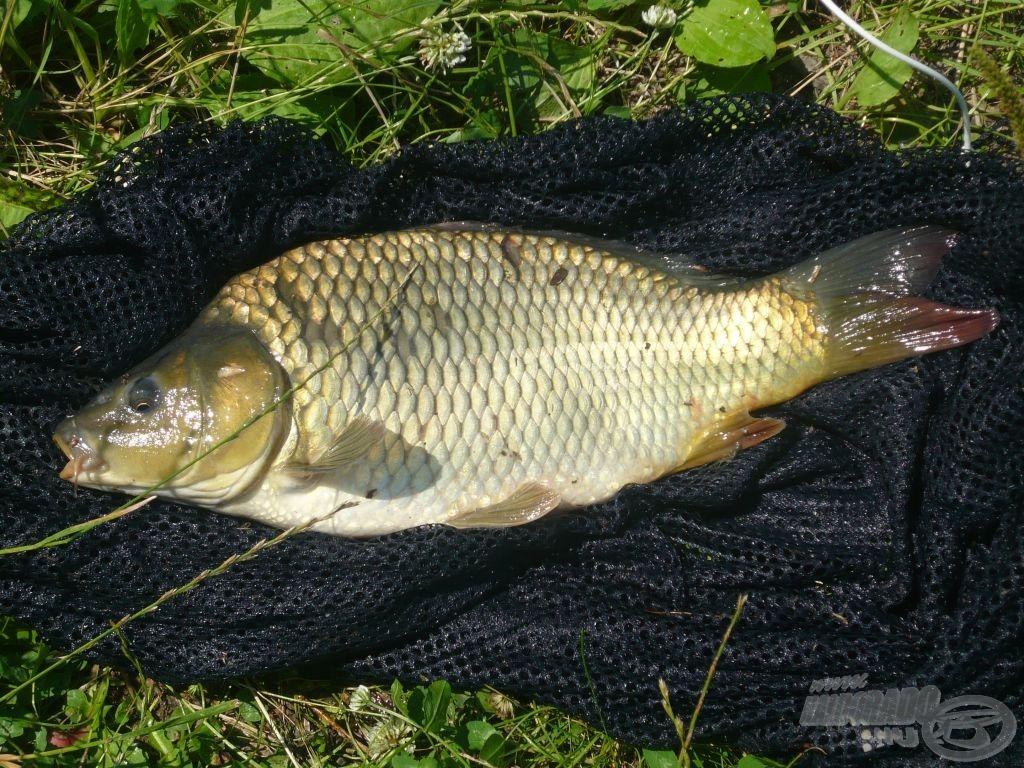 A nap legszebb és legnagyobb hala, egy 3 kg-os tőponty