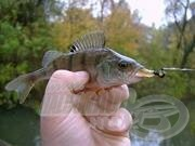 A sügér horgászata 10.