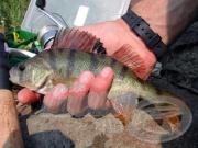 A Sügér horgászata 2.