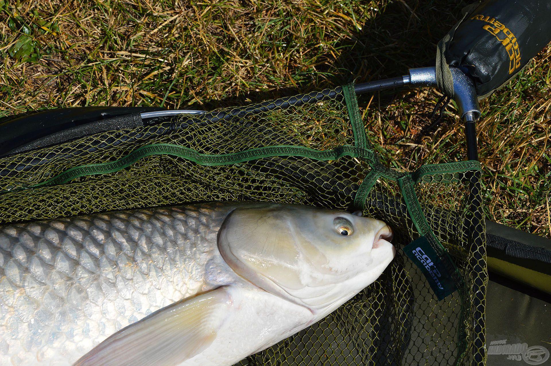 A Carp Academy Gumírozott merítő fej tökéletes választás nagyhalas horgászathoz
