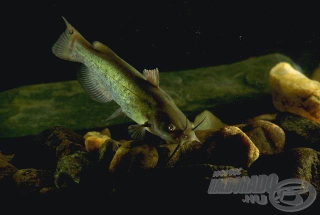 A horgászok (rém)álma?