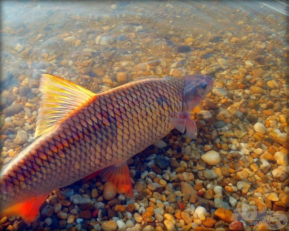 A változatosság gyönyörködtet – Keszeghorgászat a Dunán