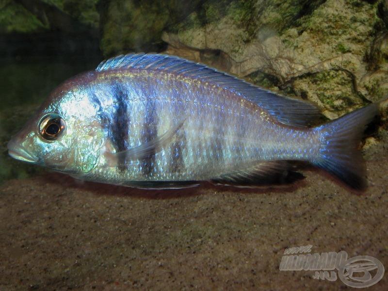 Az előző faj rokona a <i>Placidochromis electra</i> - beszédes és kissé hosszú magyar nevén szelíd homoktúró sügér)