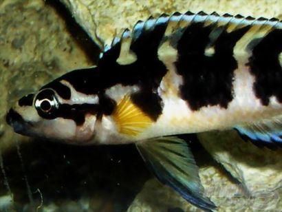 Afrikai sügérek az akváriumban - ismerkedés a Tanganyika-tó képviselőivel