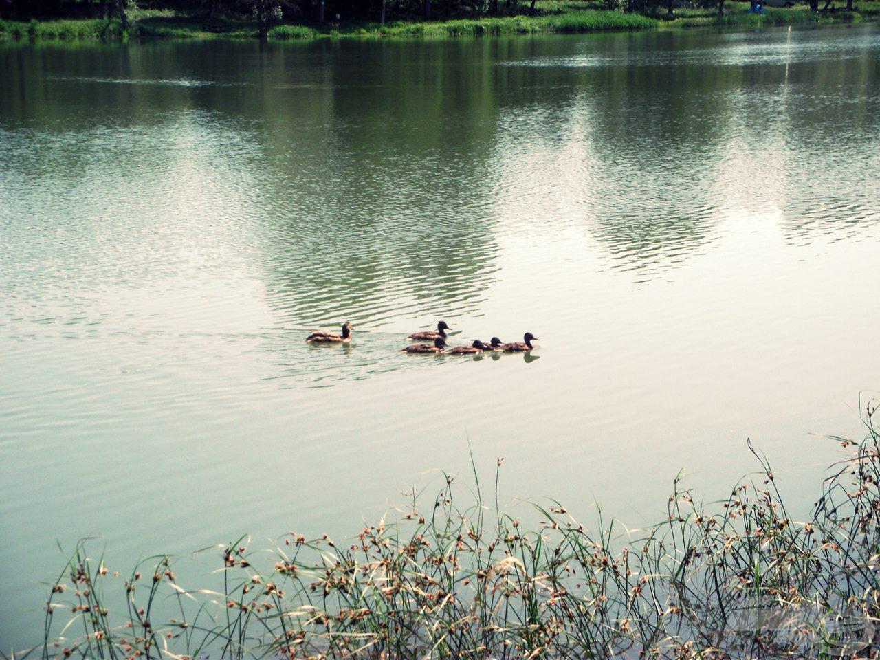 A szorgos Tás család gyakran látogatta a horgászállásomat :)