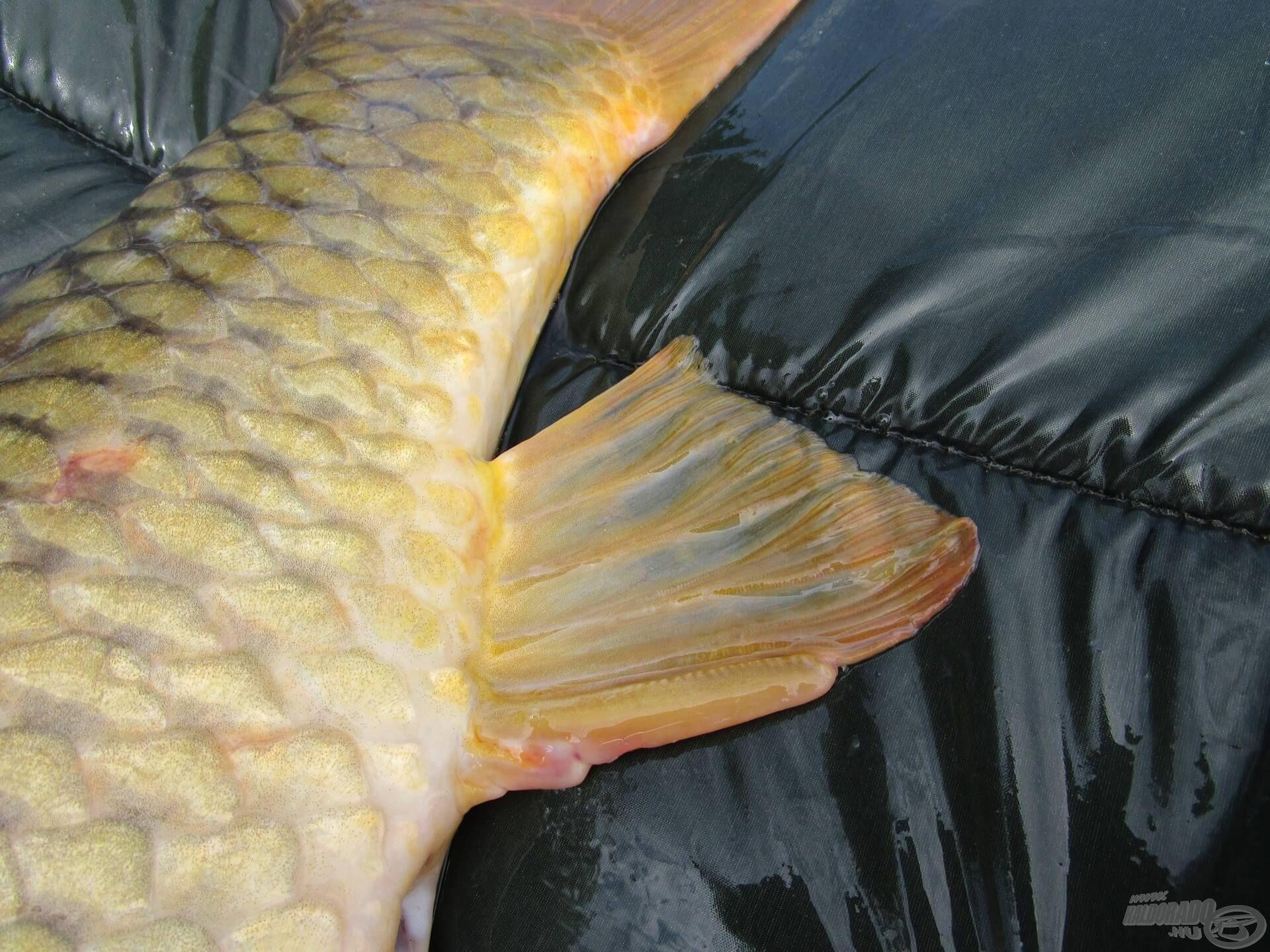 … ilyen aranysárga úszójú nyurgapontyot fogni