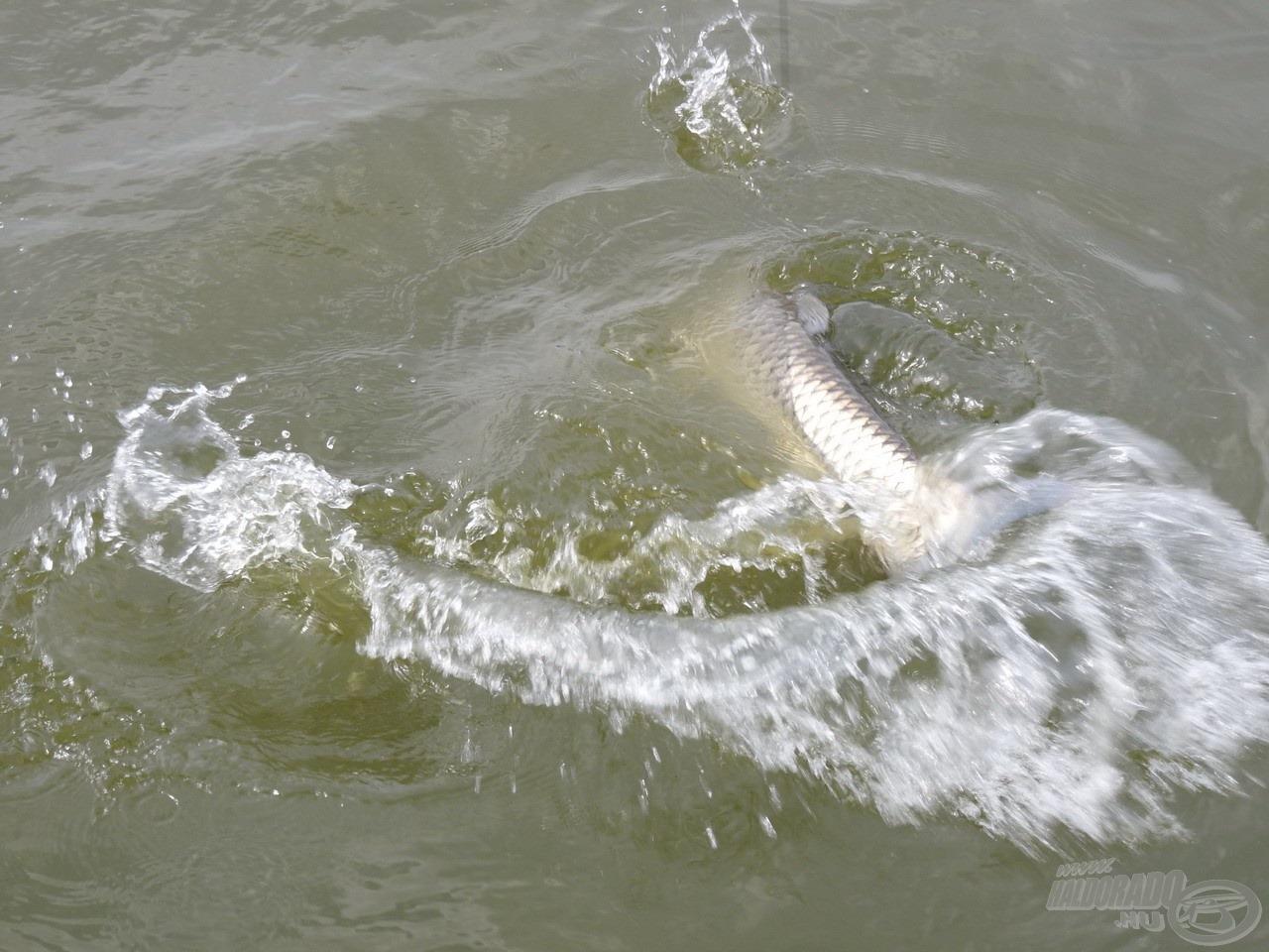 … az egyik legjobban küzdő hal