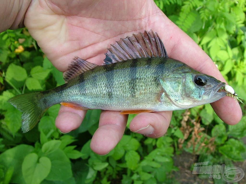 River perch - sügér (Perca fluviatilis)