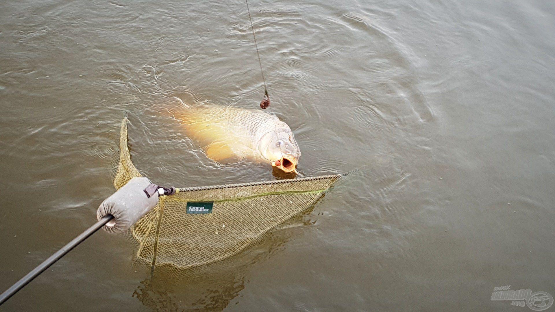 Ez a nap meglehetősen mozgalmasra sikeredett, a halak jól reagáltak a fűszeres ízvilágra