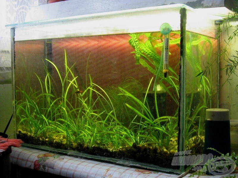 Ilyesformán festett első akváriumom. Egyszerű, kicsi, szerény, de a növények szépen zöldellnek, a levegőztető békésen duruzsol, a kevés halacska nyugodtan úszkál, mi kellhet még? Még több akvárium… :-)