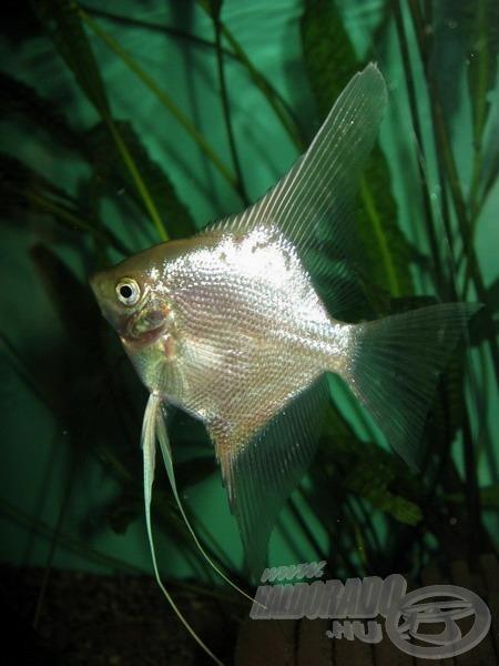 Az amatőr akvarista II. - pontyfélék, harcsák és sügérek