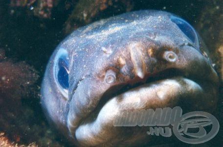 Kitűnő szaglásának köszönhetően a halak nyomozókutyájának is tartják