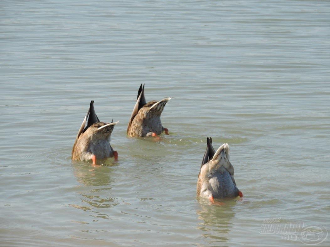 A három kacsa vízi balett show-t tartott…