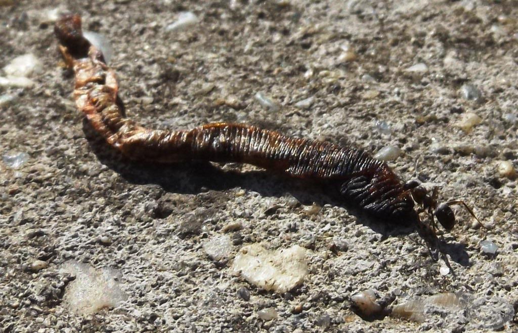 Az előző horgászok maradékait igyekszik ez a hangya eltakarítani
