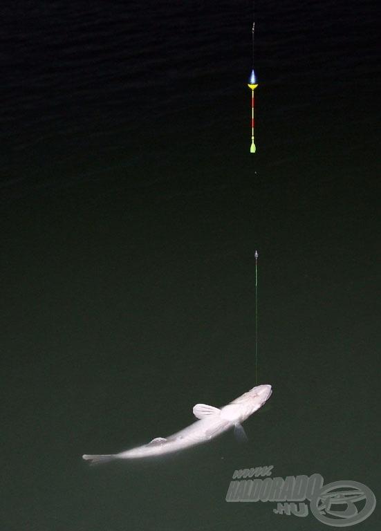 Szürkületi zsákmány. A fotózáshoz már szükség volt vakura, de az úszót - és kapást - még jól nyomon lehetett követni sárga bóbitával is