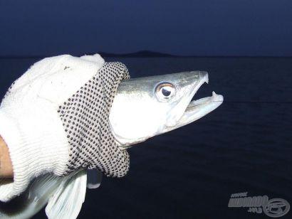 Balatoni süllőzés X. - Járulékos halak, kiegészítő eszközök