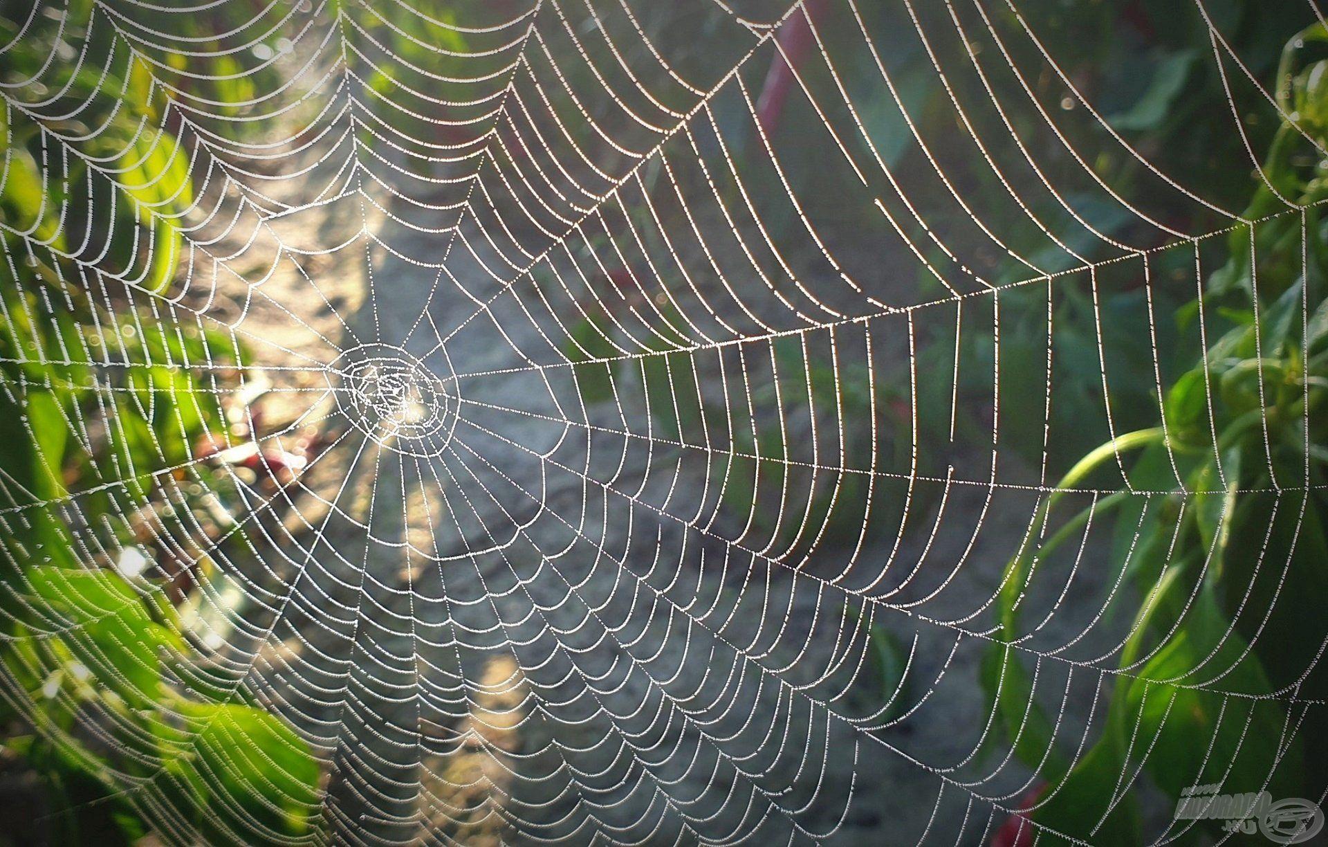 A vízparti növényzeten számos pókfaj előszeretettel építi meg hálóját