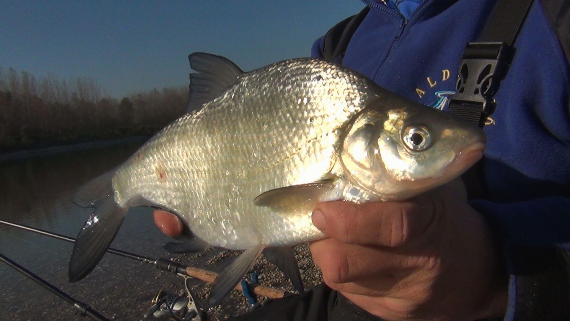 Az újabb hal egy dévérkeszeg