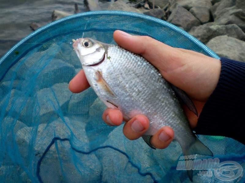 Aznapi első halam, egy virgonc keszeg