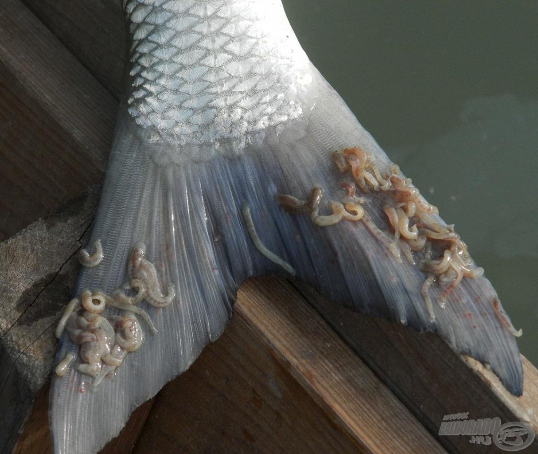 Potyautasok a balin farkán