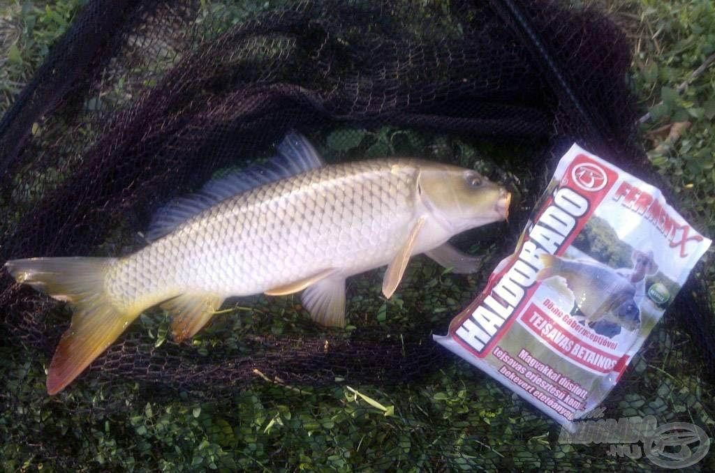 Haldorádó FermentX - Tejsavas Betainos, és bár a képen látható hal nem kapitális, szépsége egyedülálló