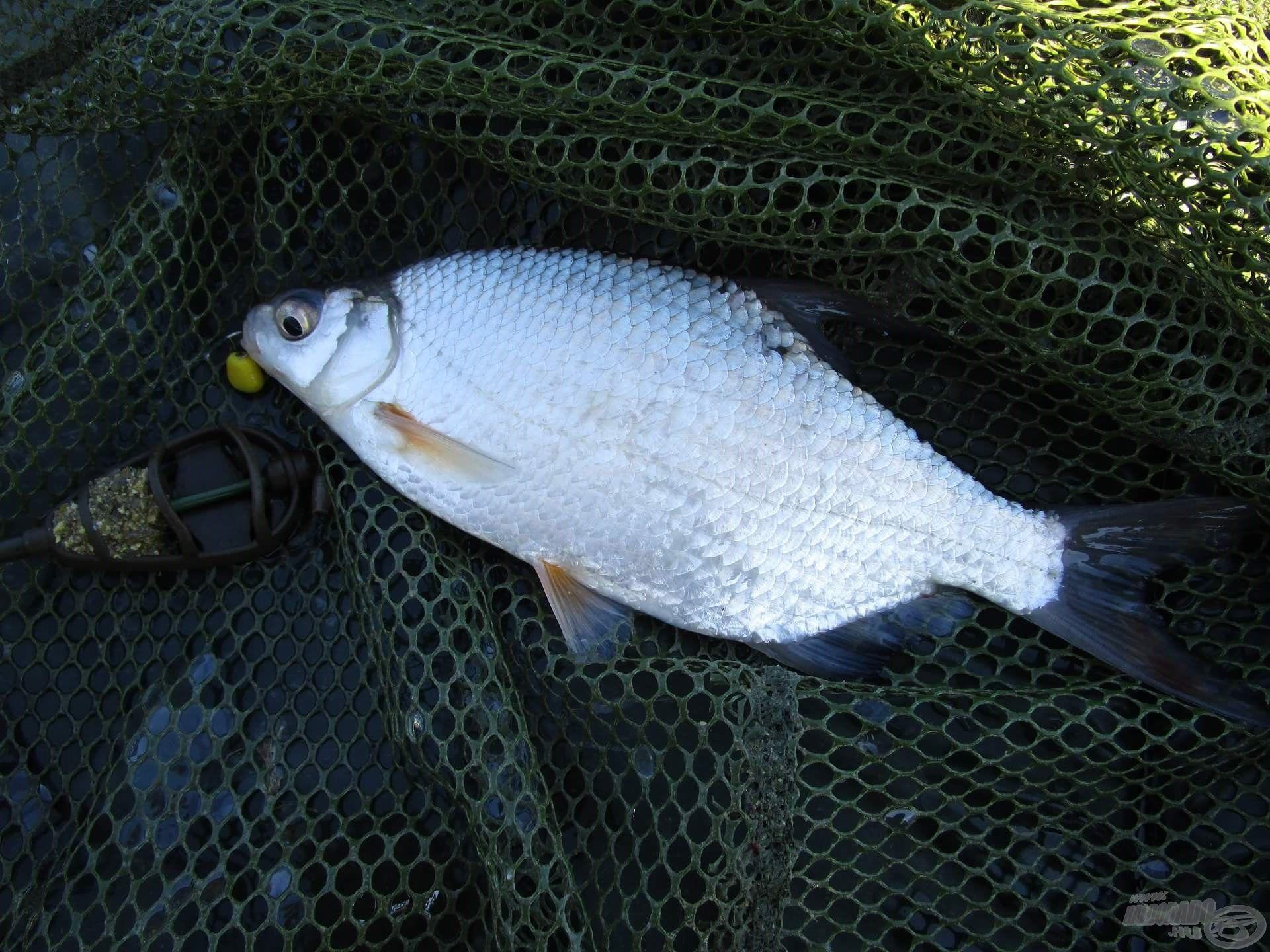 A természetes vízben élő halak érzékenyek a zavarásra, de az ananászos SpéciCorn segítségével sikerült horogra csalni egy újabb zalai karikát, majd valamivel később egy másikat