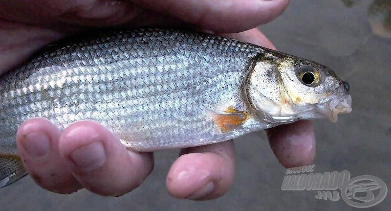 Élénk színek, kedves hal