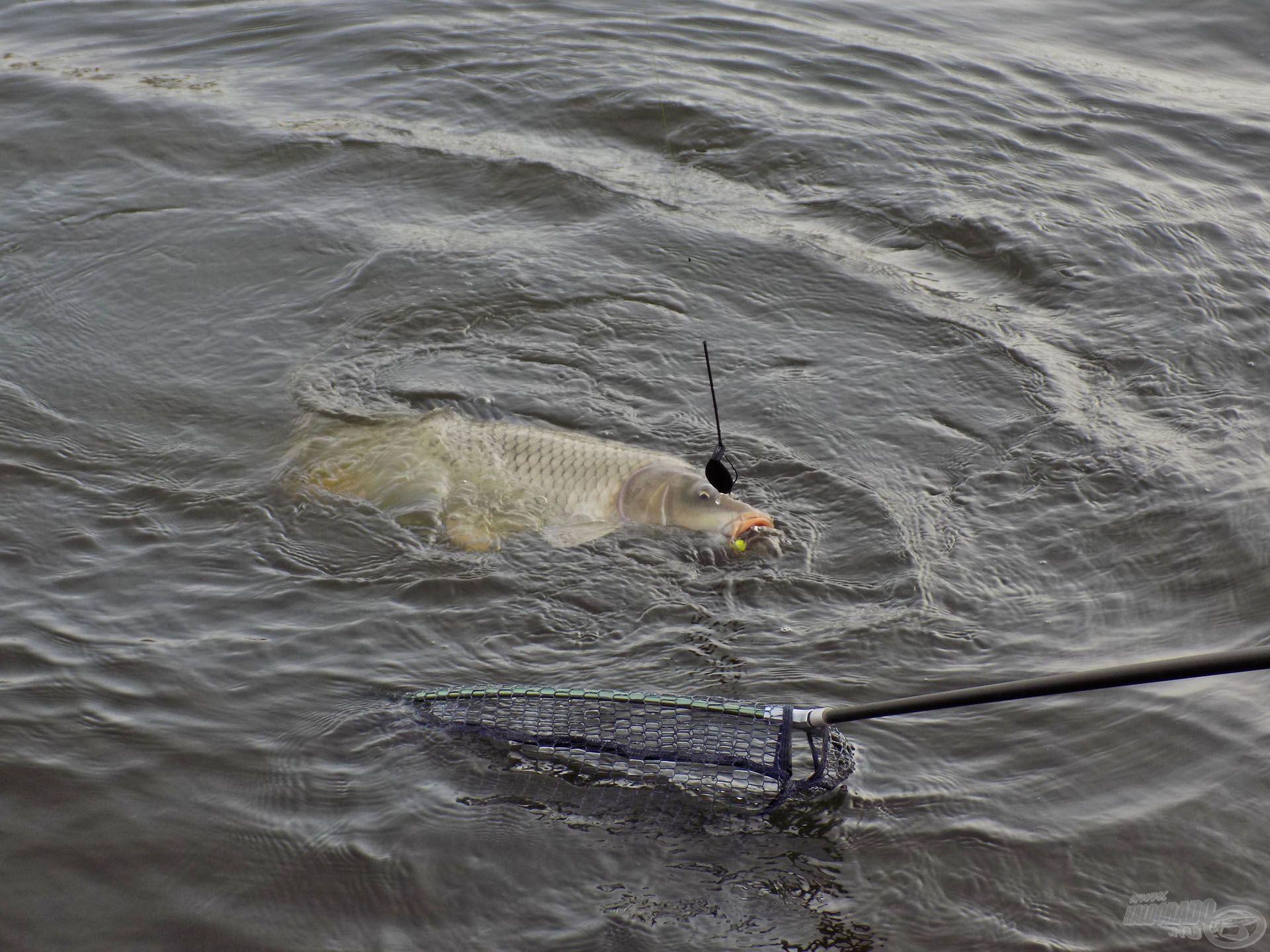 Ha megtaláljuk, hogy az adott horgászvízen mi az, amire a halak jól reagálnak, akkor a rövid nappalok ellenére is gyakran lehet hasonlóan szép látványban részünk…
