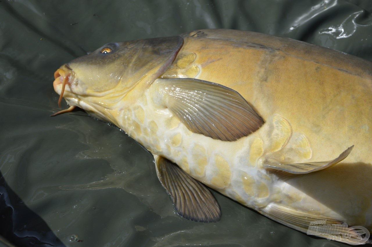 Végre matracra került első halam, mely egy igazán különleges pikkelyzetű példány volt