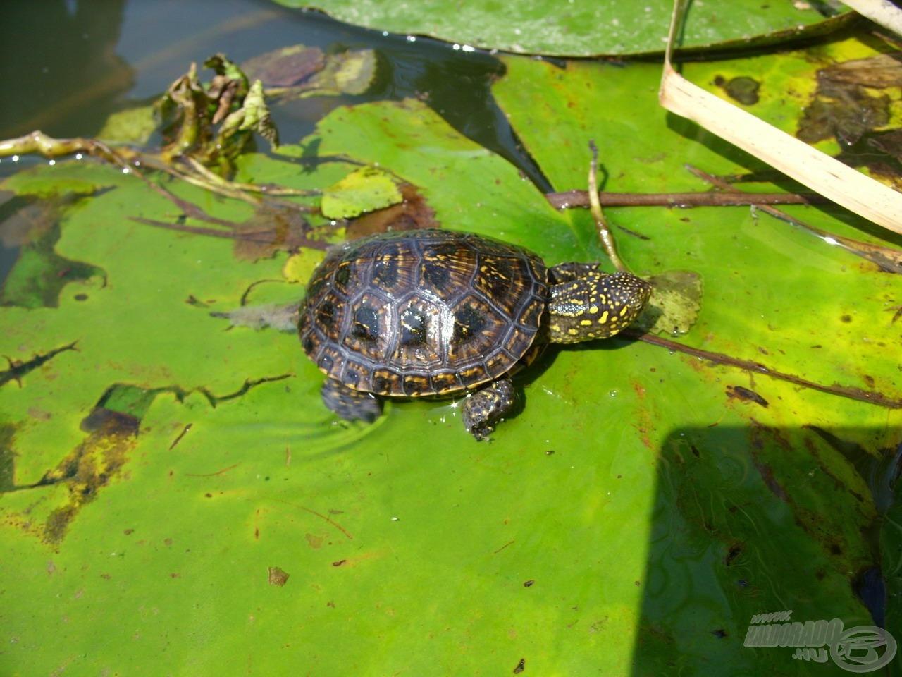 … de a kétéltűek és hüllők is gyakoriak, így mocsári teknőssel is könnyen találkozhatunk