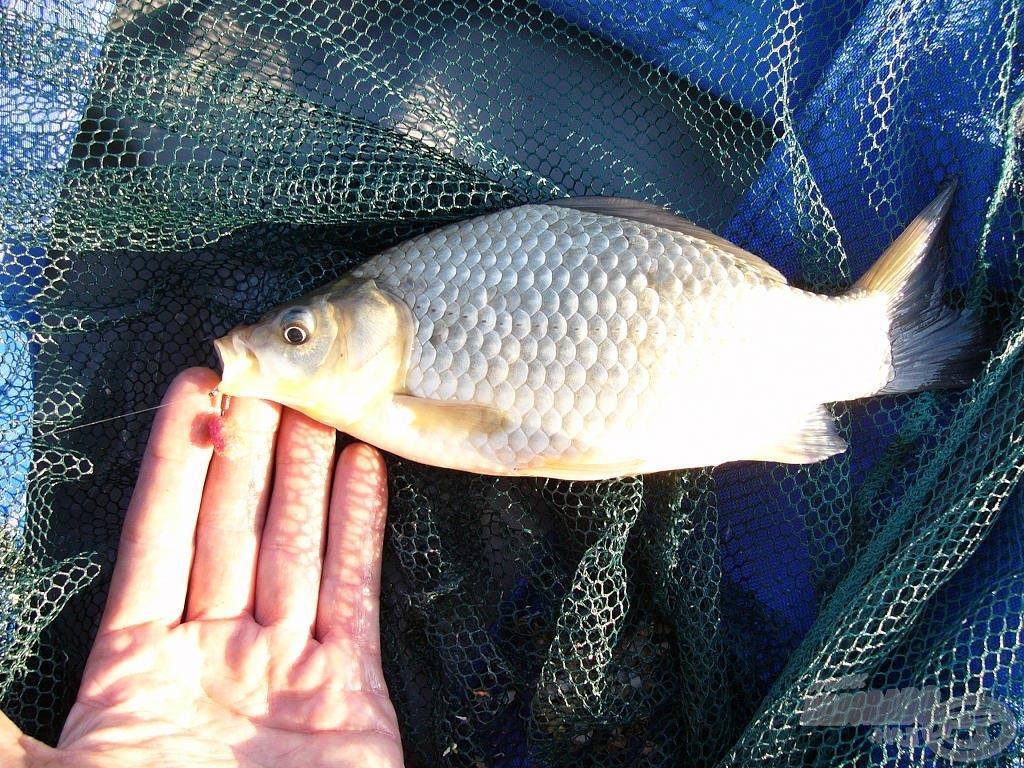 A nap első hala ez a tenyeres kárász lett