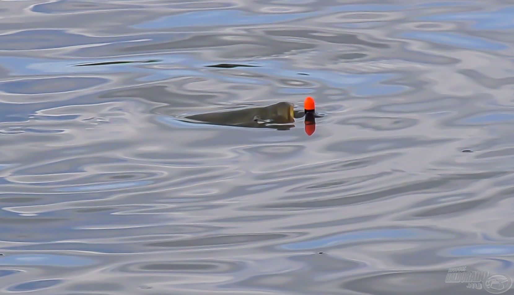 … ugyanis itt látjuk a halakat, látjuk azt a pontyot, amely bekapja a csalit! Itt éppen az úszóval ismerkedik