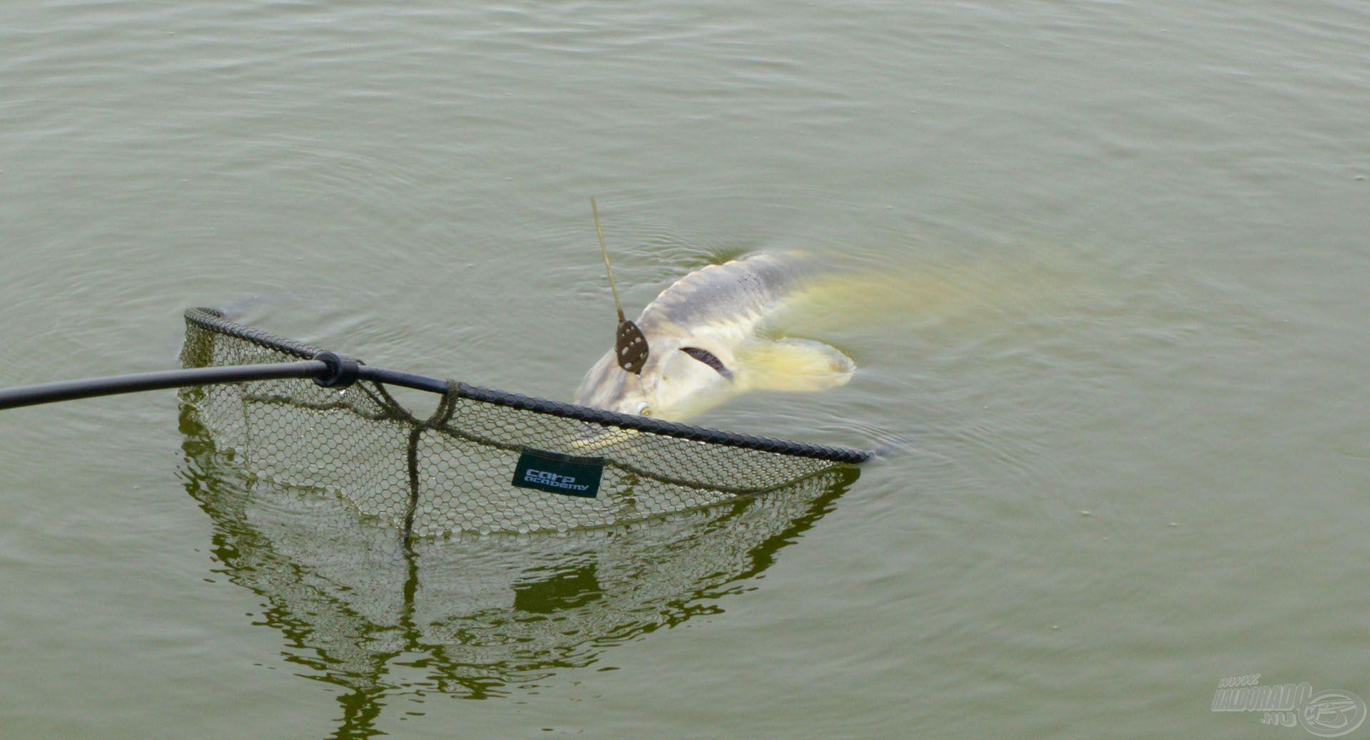 A Carp Academy Giant merítő fejbe még a termetes halak is könnyedén beleférnek