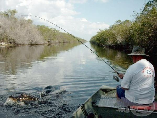 Ha jobban küzd a megakasztott hal, az aligátor megelőzhet bennünket.