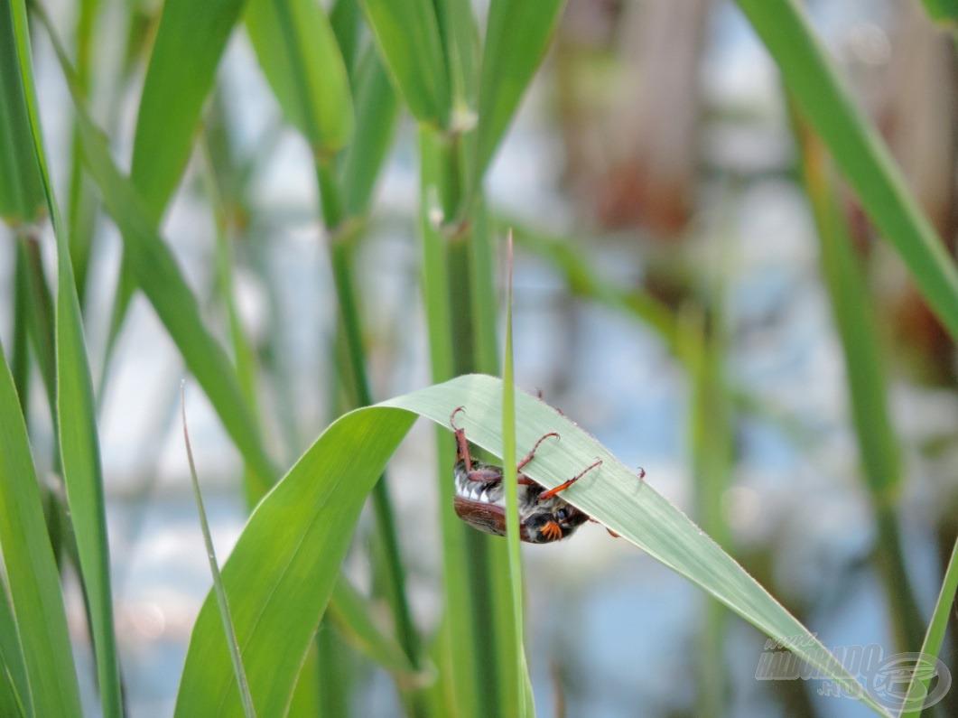 ….ami  már nehezen bírja el a felfelé haladó bogarat