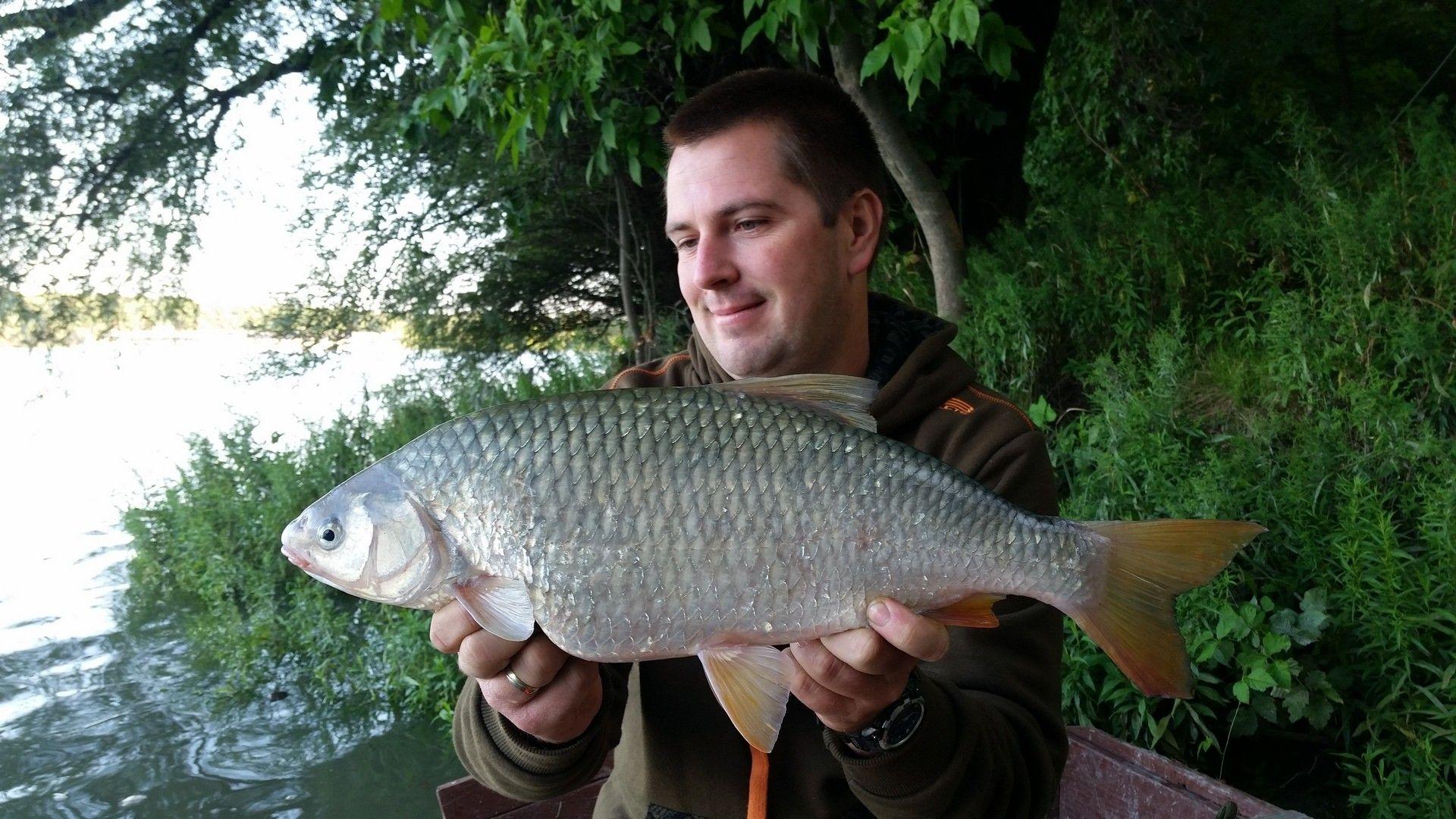 Dunai kincsünk, a leánykoncér is szívesen lakmározik a pontyoknak szánt etetéseken. Vigyázat, védett hal, a megfogást követően azonnal vissza kell engedni!