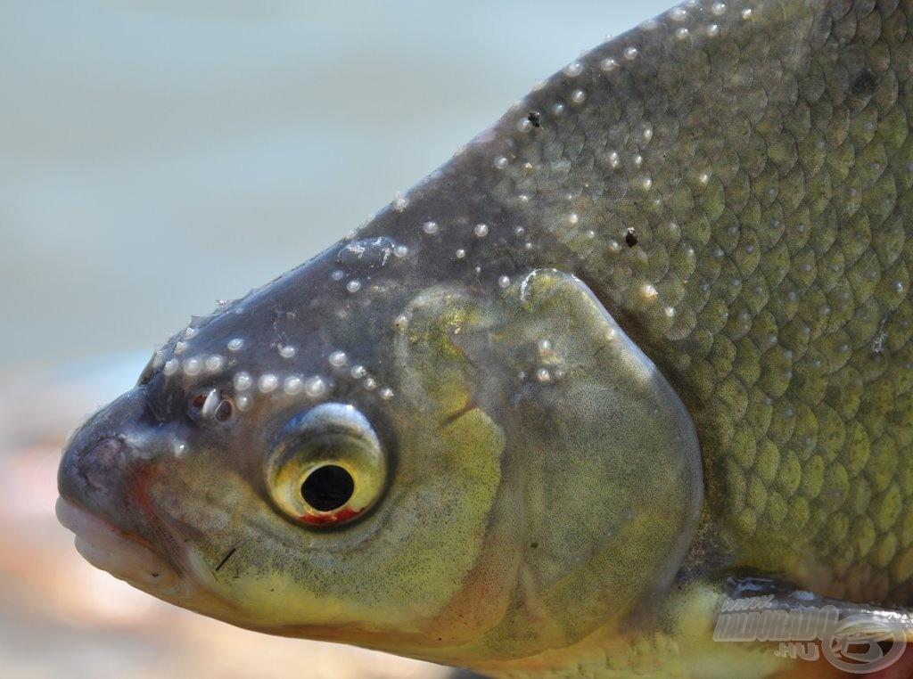 A halak orra kicsit másképp működik