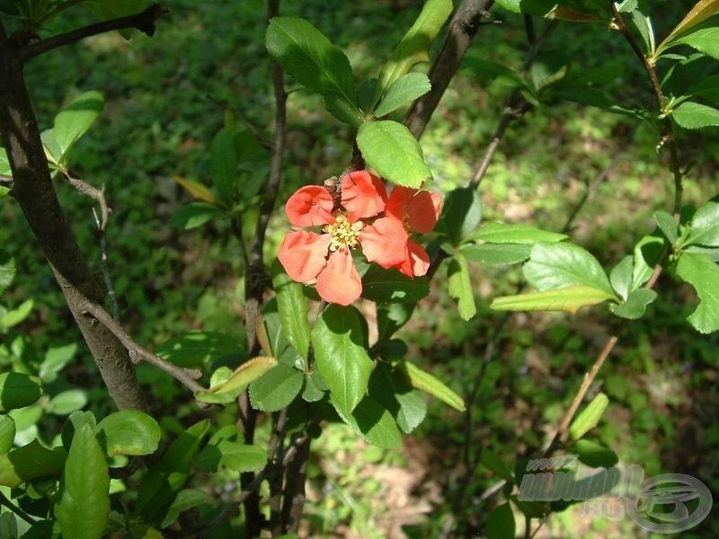 Egy a különleges növények közül - mint utóbb kiderült, japán rózsa